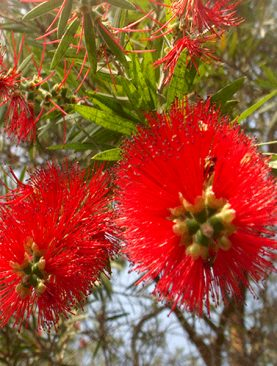 Bottle Brush - Plant