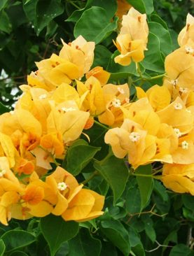 Bougainvillea (Yellow) Plant