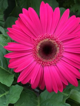 Gerbera (Any Color) - Plant