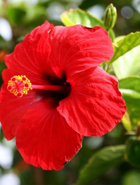 Hibiscus (Red) - Plant