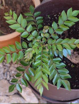 Curry Leaves, Kadi Patta, Meetha Neem - Plant