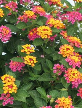 Lantana (Any Color) - Plant