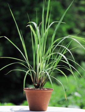 Lemon Grass - Plant