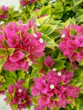 Bougainvillea Variegated (Pink) - Plant