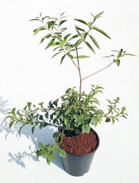 Sandal Wood (White) - Plant
