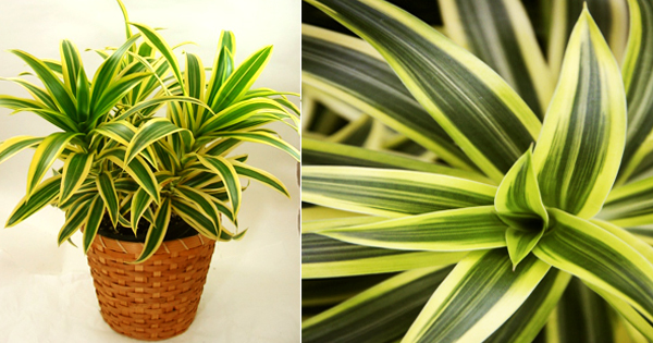 Song of India : This attractive houseplant is NASA's best air purifying plant