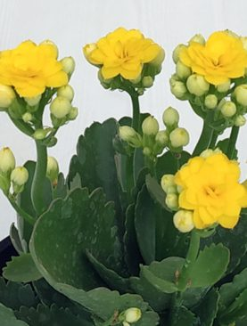 Kalanchoe (Any Color) - Plant