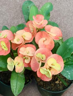 Euphorbia Any (Color) - Plant