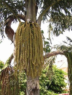 Caryota Urens, Fish Tail Palm 10 Seeds
