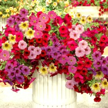 Petunia Plants (Seasonal)