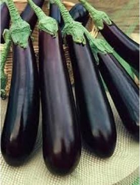 blackish Purple Long Eggplant shilpa