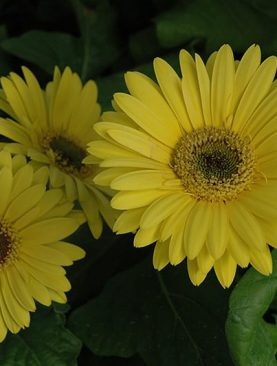Gerbera (Yellow) - Plant