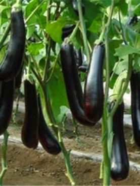 Brinjal Long Purple sky 384