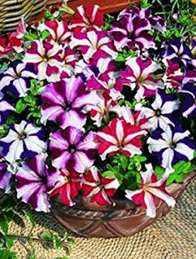 Petunia (Violet with White Strip) - Plant