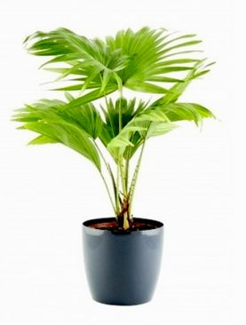 Table palm, Umbrella Palm 20 Seeds