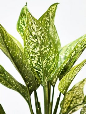 Aglaonema Costatum, Chinese Evergreen (Green) - Plant