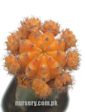 Moon Cactus (Grafted, Orange) Small- Cactus Plant