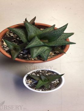 Haworthia venosa, Star Window Haworthia - Succulent Plant