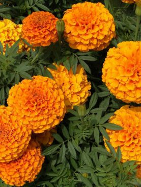 Marigold F1 Inca Orange (Paneeri)