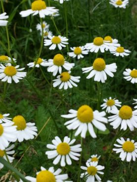 Matricaria (Mayweed)