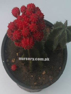 Gymno Cactus RED