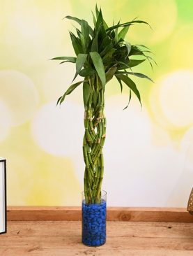 Lucky-bamboo-braided-arrangement