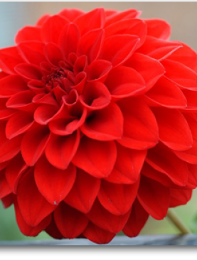 Indian Dahlia (Red) - Plant
