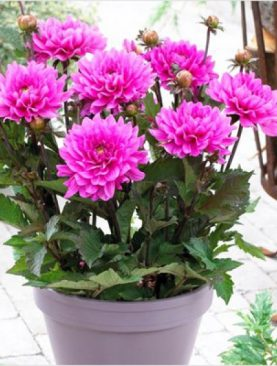 Indian Dahlia (Pink) - Plant