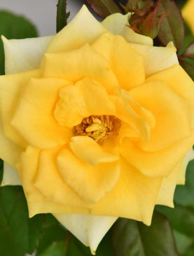 Rose (Yellow) - Plant
