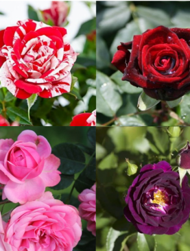 Rose (Pack of 6 Mix Colors) - Plant