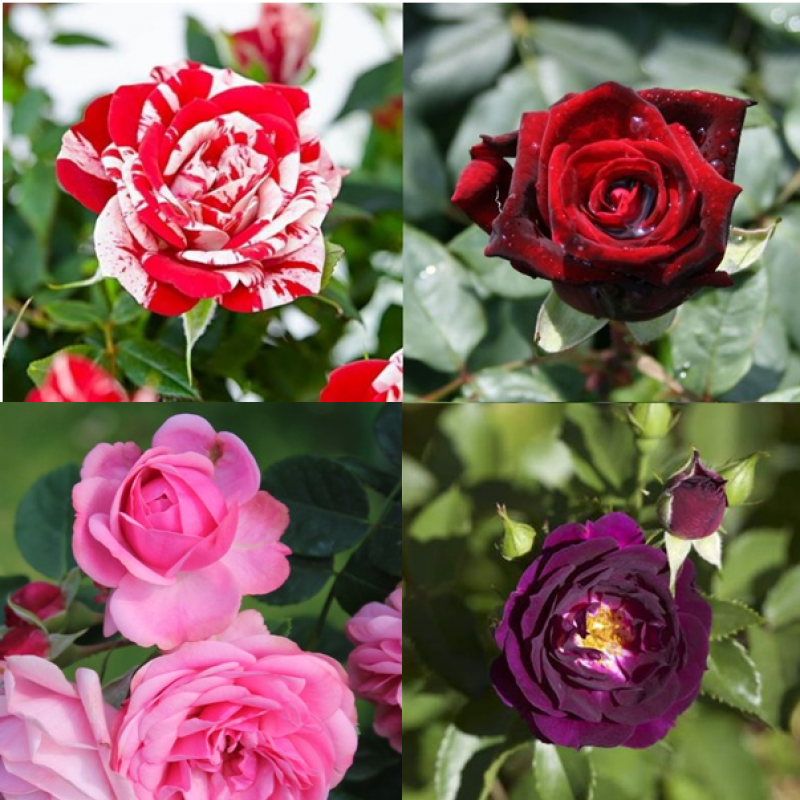 Rose Pack Of 6 Colors Plant