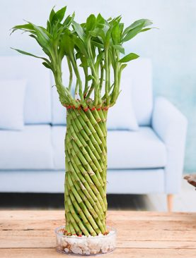 Fengshui Wheel Arrangement Lucky Bamboo