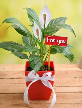 Peace Lily For You - Gift Plant