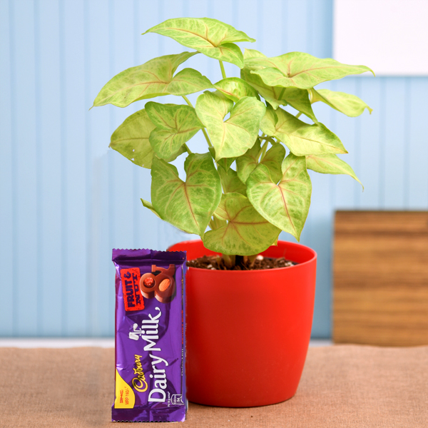 Syngonium Plant For Chocolate Day