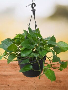 Money Plant, Scindapsus Green (Hanging basket) - Plant