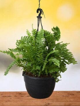 Nephrolepis exaltata, Boston fern (Hanging Basket) - Plant