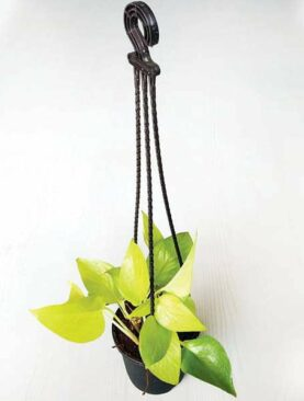 Money plant golden, Scindapsus golden (Small, Hanging basket) - Plant