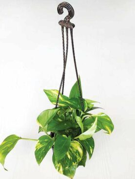 Money plant, Scindapsus Green (Large, Hanging basket) - Plant
