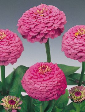 Zinnia Double F1 Pink