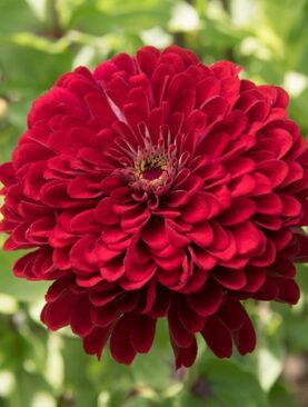 Zinnia Super Double F1 Red
