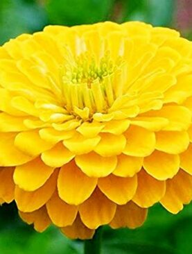 Zinnia Double F1 Yellow