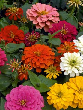 Zinnia Double F1 Mix